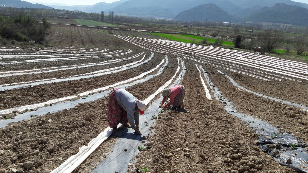 OSMANELİ'DE İLK KARPUZ FİDELERİ TOPRAKLA BULUŞTU