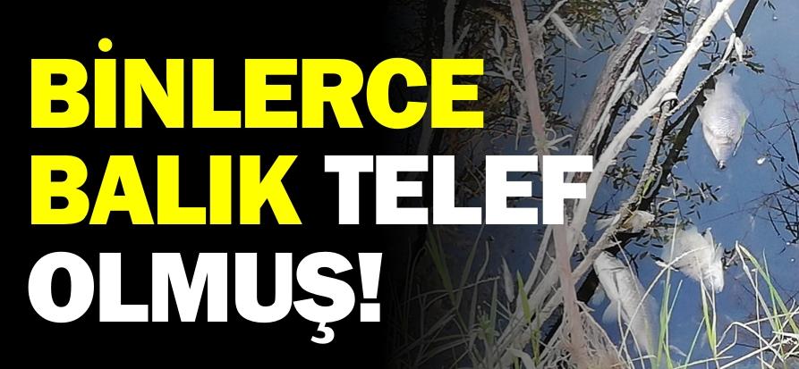 BİNLERCE BALIK TELEF OLMUŞ